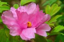 彭州丹景山天彭牡丹盛开的花朵