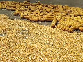 拍摄苞米粒