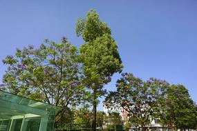 行道树蓝花楹-紫色花开