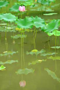 池塘荷花和水面倒影