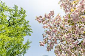 古银杏樱花俏争春