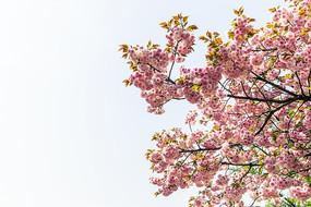 仰拍重瓣樱花