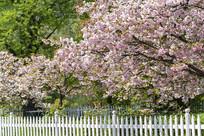 樱花盛开满园春