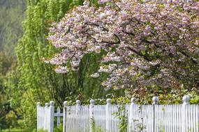 一树樱花出墙来
