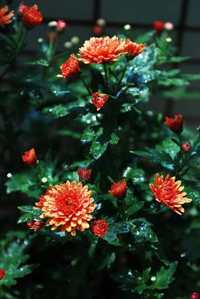 春天的菊花