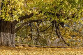 古银杏林又是一年秋