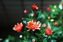 开放的菊花