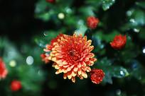 盛开的红色菊花