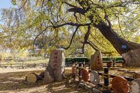 象征爱情的古银杏树