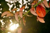 阳光下的鸡冠刺桐花卉