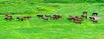 草原上的马群