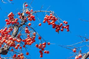 火红柿子挂满枝头