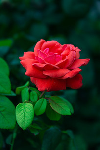 一朵红色月季花