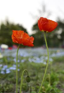 虞美人花卉