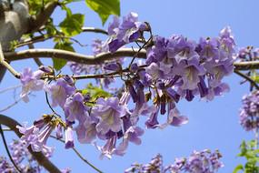 清明节节气之花 紫色的桐花