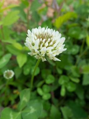 豆科植物白车轴草