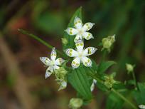 龙胆科獐牙菜属植物獐牙菜