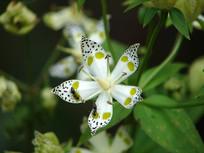 獐牙菜白色斑点花朵