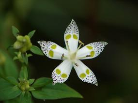獐牙菜花朵特写镜头