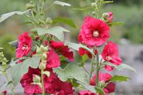 红色蜀葵花花朵
