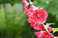红色蜀葵花花朵素材