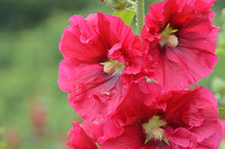 红色蜀葵花花朵素材图片