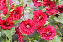 红色蜀葵花花朵图