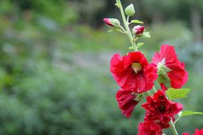 蜀葵花花朵素材图片