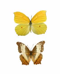 大型蝴蝶标本