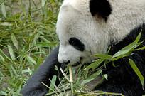 大熊猫吃竹子