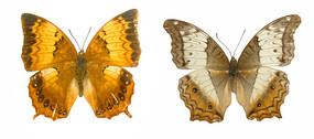 收藏的蝴蝶标本