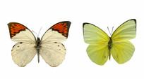 野生动物标本-大型蝴蝶