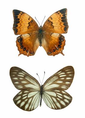 野生昆虫科普-大型蝴蝶标本