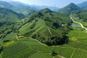 大山茶园摄影图