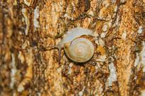一只圆盘形螺壳爬行的蜗牛