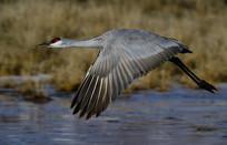 飞过水面的野鸟