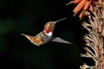 觅食的蜂鸟