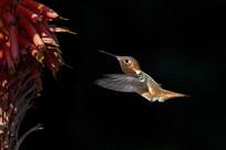 觅食中的蜂鸟