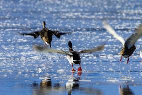 水面上起飞的野鸭