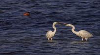 水中的白鹤
