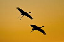 夕阳下归巢的野鸟