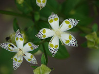 獐牙菜带有黑色斑点的花朵