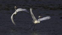 展翅飞翔的白鹤