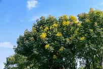 复羽叶栾树开花