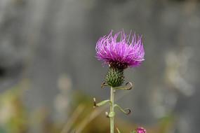 菊科植物刺儿菜紫色花朵