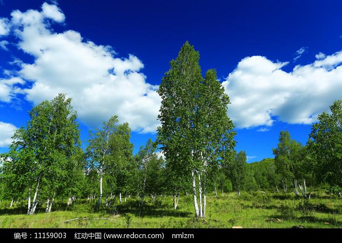 白桦林风光图片