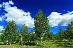 白桦林风光