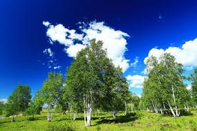 绿色原野白桦林风景