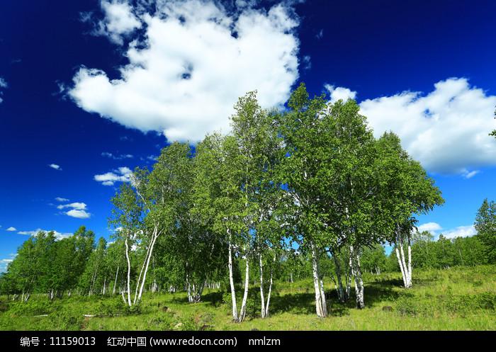 内蒙古白桦林风光图片