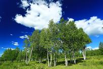 内蒙古白桦林风光